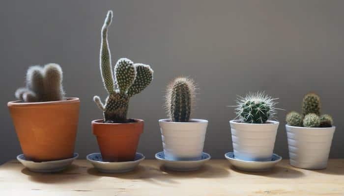 Cactus in different pots (2)