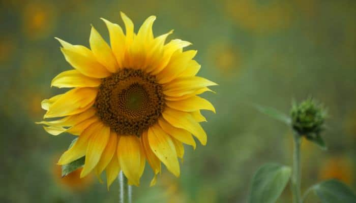 Growing Sunflowers in Pots the Easy Way