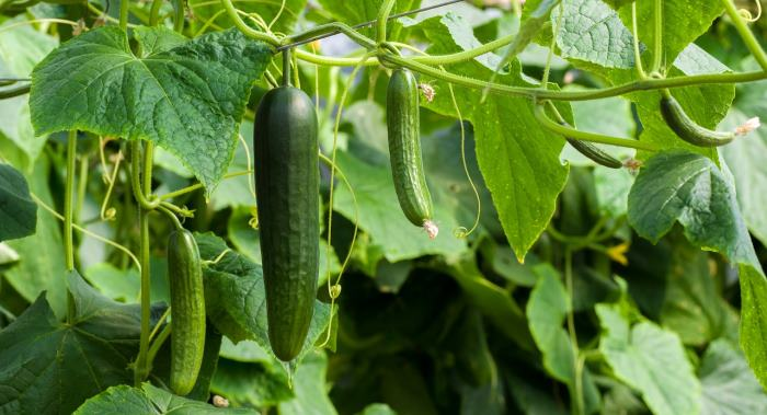 cucumbers growing on support