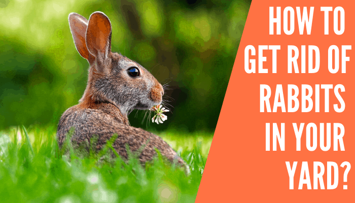 How to get rid of rabbits in your yard? - Improved Yard