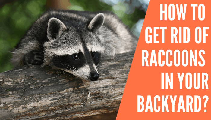 How to get rid of raccoons in your backyard? - Improved Yard