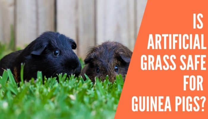 Is Artificial Grass Safe for Guinea Pigs