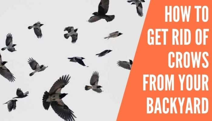 How to Get Rid of Crows From Your Backyard
