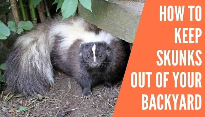 How to Keep Skunks Out of Your Backyard